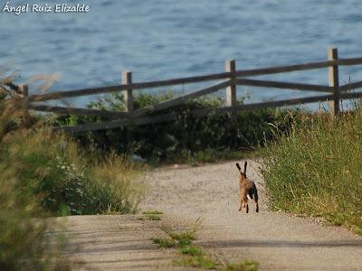 Liebre europea (Lepus europaeus)