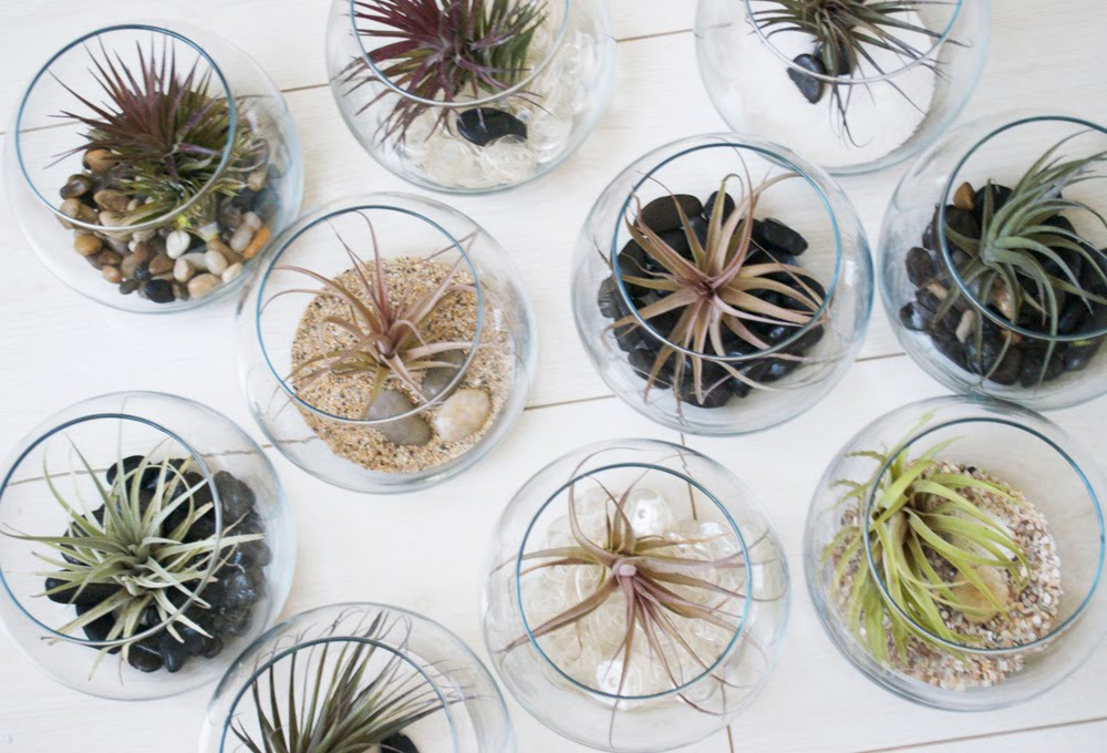 Air Plants in Glass Vases and Bowls