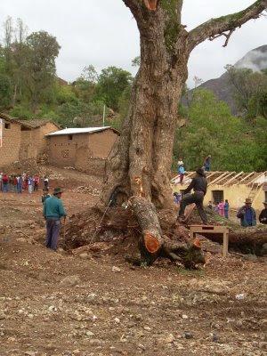 Árbol en Apongo siendo talado.