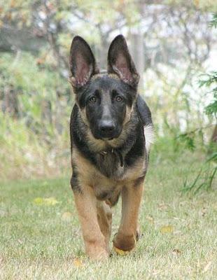 <img:http://4.bp.blogspot.com/_4vn24YA-Rc4/SLkLmRlb_iI/AAAAAAAAASs/qxzRas9OBAk/s400/german-shepherd-thor-ready-to-pounce.jpg>