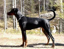 Why Should Tail Docking and Ear Cropping be Banned, Why Should ear cropping and Tail Docking be Banned, prevention of cruelty to animals, animal cruelty, stop tail docking, stop ear cropping, docking tail, docked tail, cropping ear, cropping ears cropped ears, cropped ear
