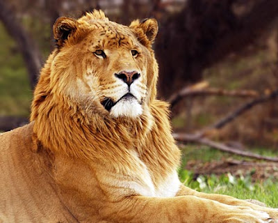 liger facts, lion-tiger hybrid, about ligers, about ligers, animal news animals, animals in news, animal news animals, animals in news, animal news animals, animals in news, ligers, ligers, ligers, liger, liger picture