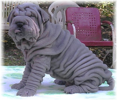 wrinkly doggy