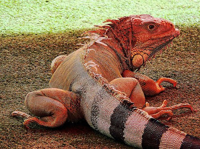pink iguana discovered, endangered animals, critically endangered species, news animals, animal news, in love of animal, rare animals, blog on animal love, animal lover, blogs on animal site, rare pink iguanas, the reptile world of reptiles