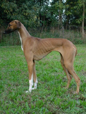dogs breeding. dog reed, azawakh dogs,