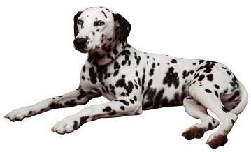 Obsessive Compulsive Disorders (OCD) Dogs