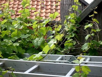 entfernen reste kletterpflanzen putz