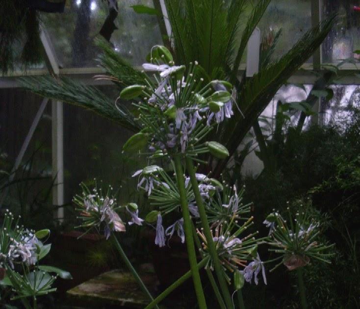 garten anders die schmucklilie agapanthus muss man nicht kaufen man kann sie auch auss en. Black Bedroom Furniture Sets. Home Design Ideas