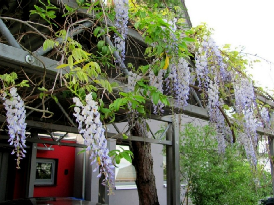 gartenarbeit ideen blauregen sehr gut f r ein carport geeignet glycinie oder auch wisteria. Black Bedroom Furniture Sets. Home Design Ideas