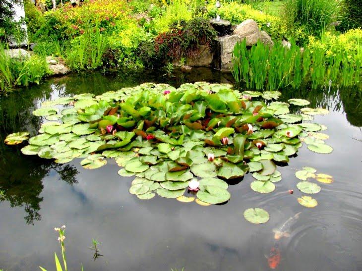 Gartenarbeit ideen teiche in g rten for Fische algenfresser teich