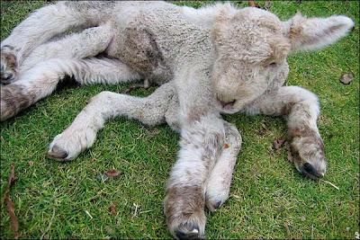 7 legs lamb