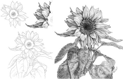 drawing a delicate sunflower
