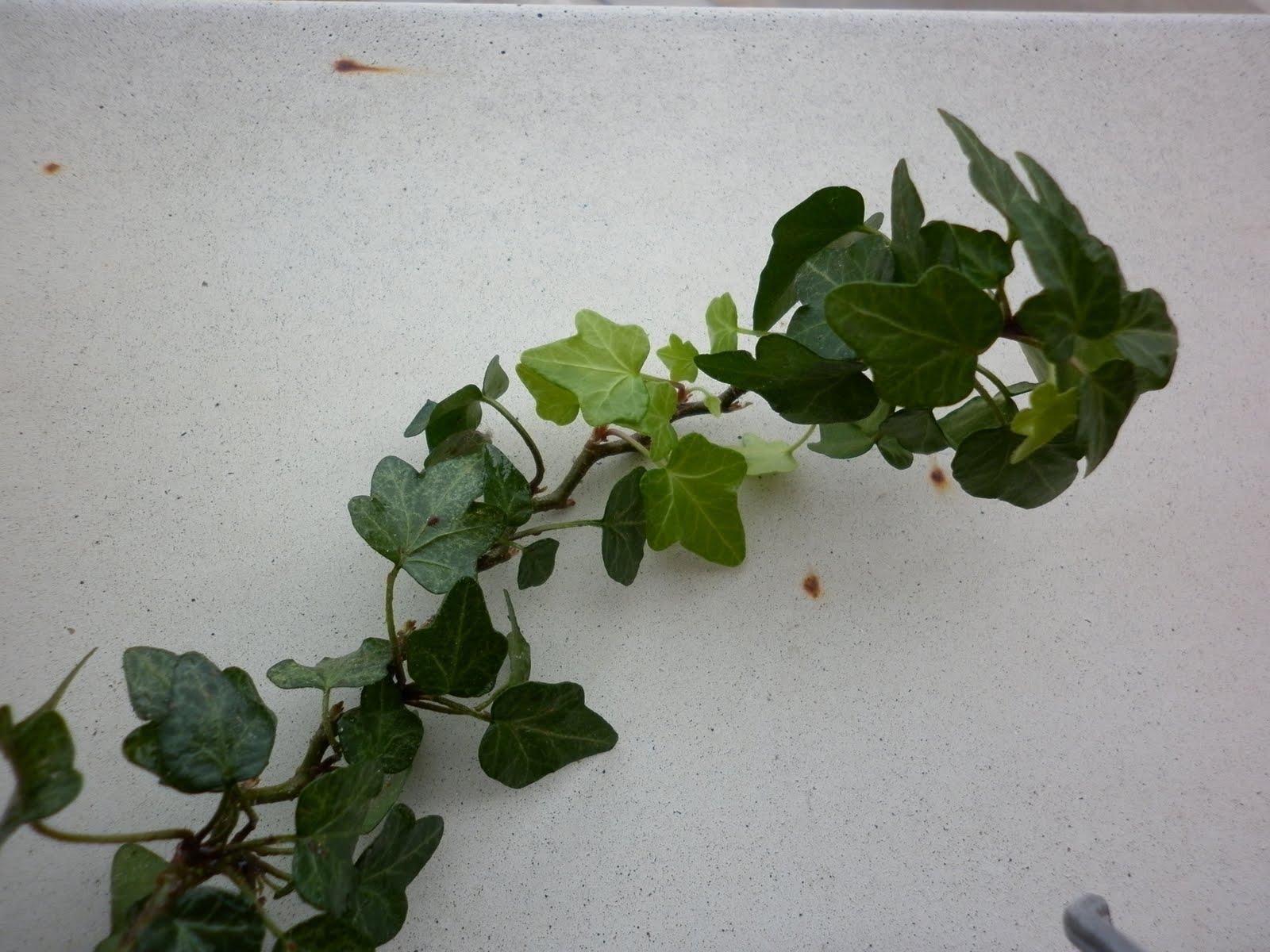 Experiencias plantasana cochinilla en planta de interior - Enredaderas de interior ...
