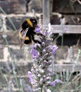 nectar gathering bumblebee
