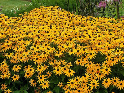 beautiful Black Eyed Susan