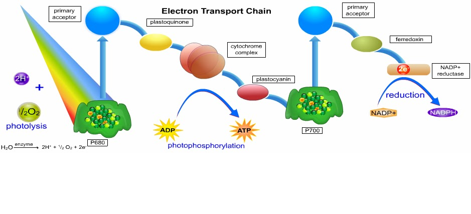 cyclic electron transport photsynthesis Electron cyclic transport chain flow electrons shunted back to electron – e   the light-independent reactions of photosynthesis occur in the stroma of the.