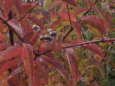 Elderberry in fall color Oregon
