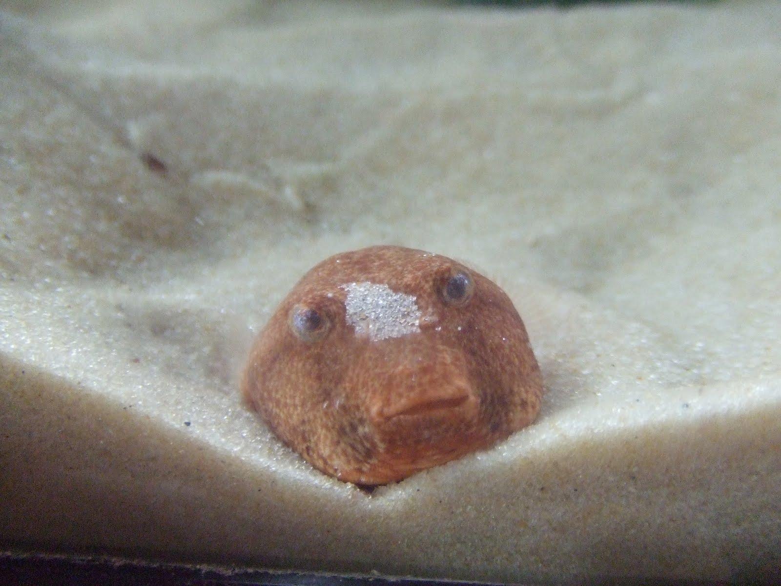 Lilacamys Puffer Family: Ushmew the Congo Puffer - Tetraodon miurus