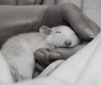 Animal addictionnn!!! Rat-picture