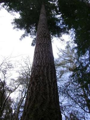 memanjat pohon tertingi di dunia tersebut untuk mengabadikan fotonya