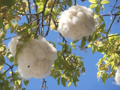 http://4.bp.blogspot.com/_5AO-vZRiTM4/SsN99mEM66I/AAAAAAAAAjE/T07tpWyG2Cg/s400/Cotton_tree6363.jpg