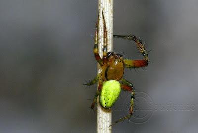 L'Araignée Courge