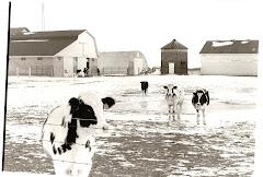 Moo cows!