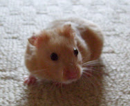 My real hamster Henry
