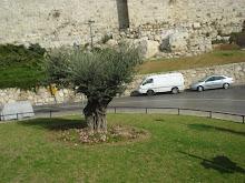 OLIVEIRA - JERUSALÉM