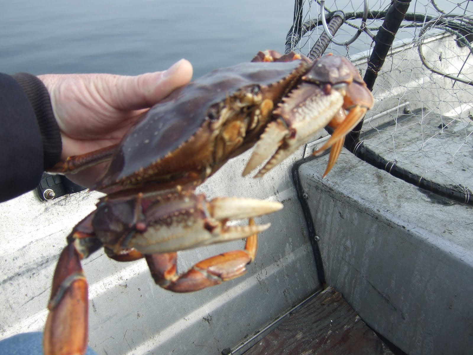 how to kill crab humanely
