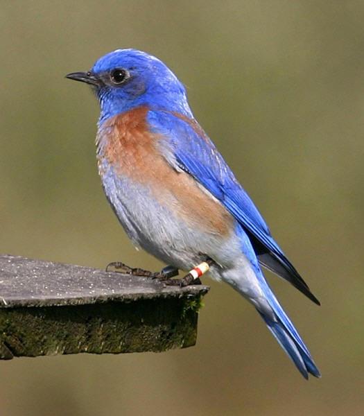 silence is betrayal blue linked to a beginning blue bloods blue bird 525x600