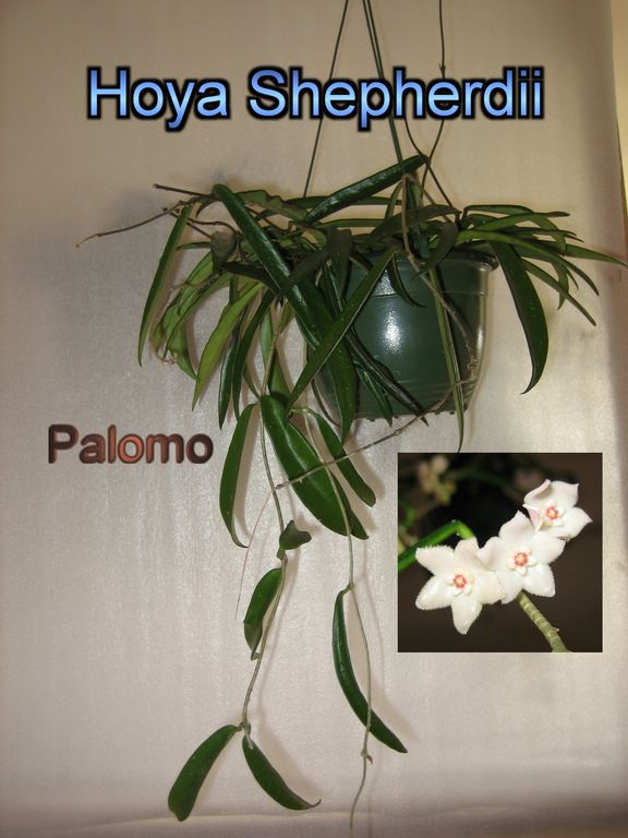 Epiphyllum Hoya Stapelia: junio 2010