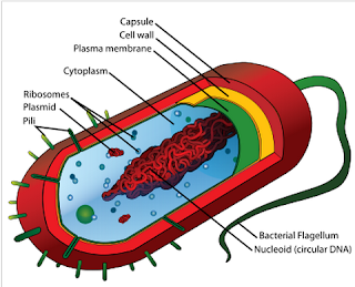 Diagram of a typical prokaryotic cell