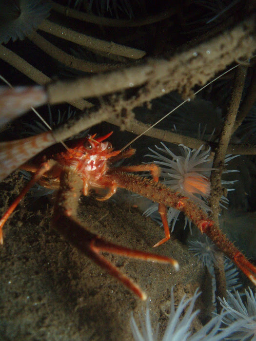 Long Clawed Squat Lobster (Munida rugosa)