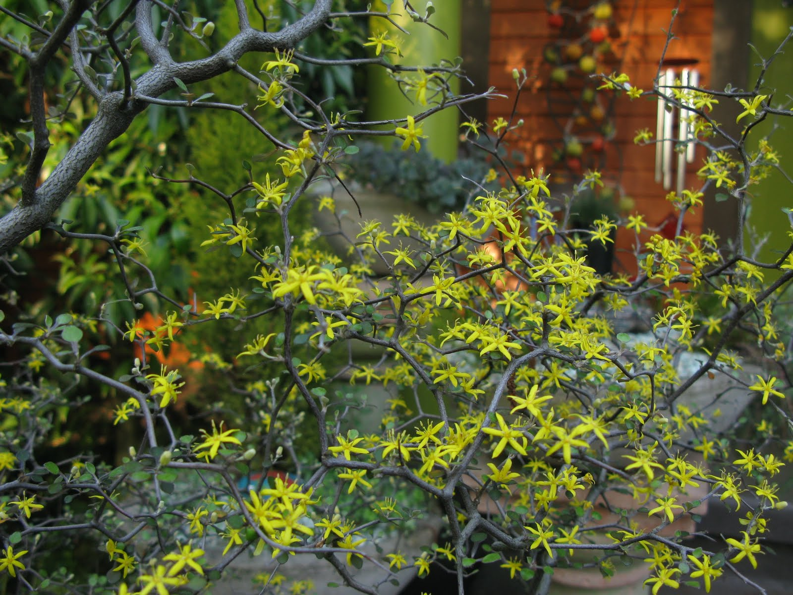 Finally, the money shot: Corokia cotoneaster, the wire netting shrub from