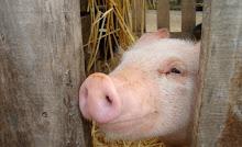Alvaro el cerdo ou le visage du mal