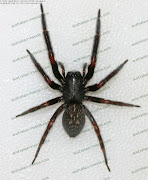 Black House Spider. The bite of the Black House Spider is poisonous but not .