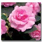 Floral Impatiens