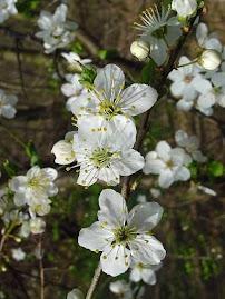 Cherry Plum - Floral de Bach