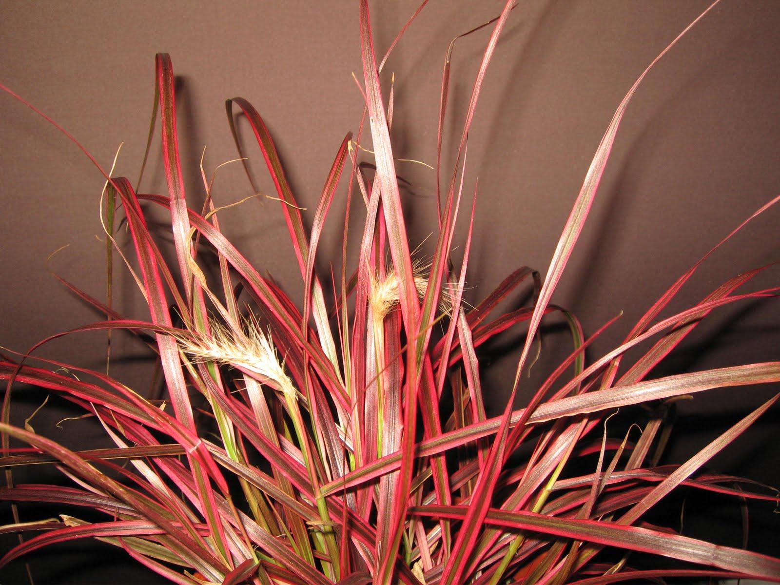 bonsai das sch nste hobby der welt pennisetum seacetum 39 fireworks 39. Black Bedroom Furniture Sets. Home Design Ideas
