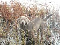 silver lab dog