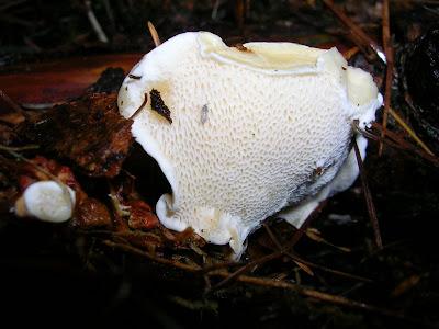 Fungus HeteroBasidium Annosum