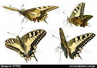 European Swallowtails
