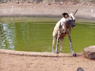 Perro salvaje sudafricano