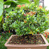 18+ Beautiful Ixora Bonsai Photos