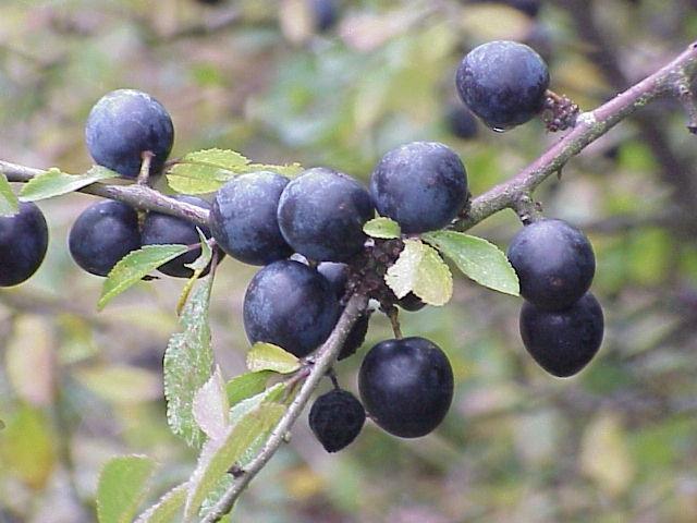 La sfida del miglior bargnolino casalingo La+sfida+del+miglior+bargnolino+casalingo.Prunus+spinosa.+Bargnolino-763743