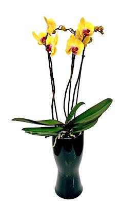 gul phalaenopsis orkidé