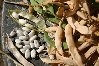 how to grow tarbais beans