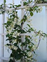 confederate jasmine vine climbing a trellis