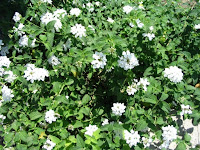 white flowered lantana